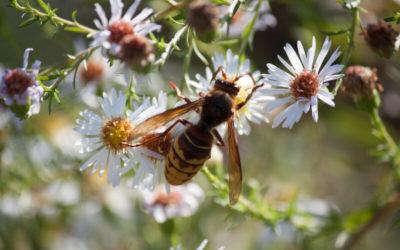 Buzzing Hornets